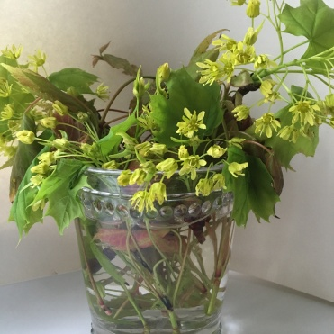 Norway Maple new leaves and blossoms