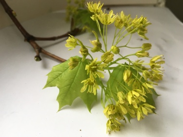 Norway Maple blossoms